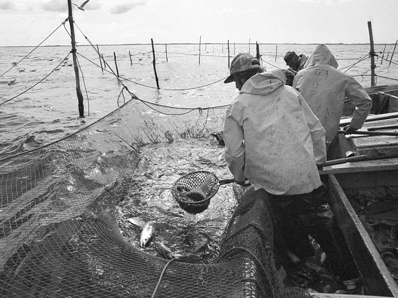 After one side of the weir net has been untied from the supporting poles, the net is hauled by hand, making the enclosure in the water smaller and smaller to concentrate the fish in a small area. Fish are taken from the weir using dipnets. The quality of weir-caught fish was its big selling point. The fish are taken alive and virtually unmarked. <br />